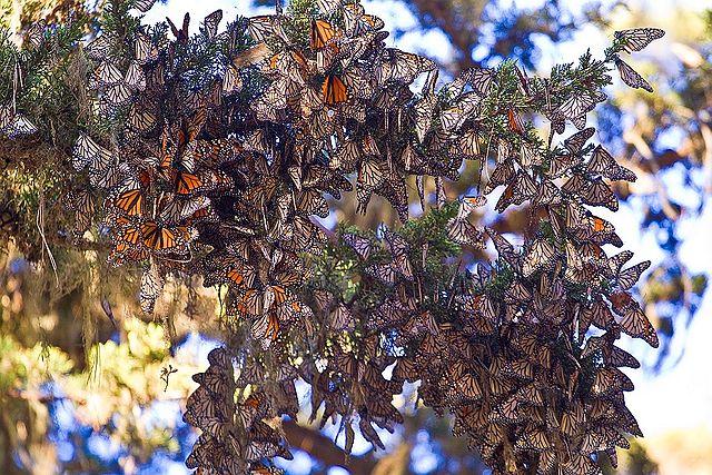 Monarchs wintering in the Monarch Grove Sanctuary Preserve, California